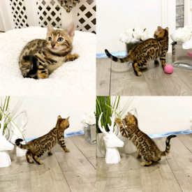 Outstanding F4 Rosetted Pedigree Bengal kittens ready now