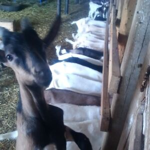 male goat bucks for sale