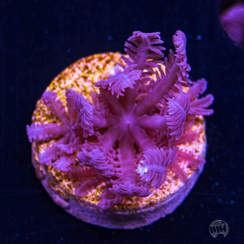 WWC Waving Hand Anthellia ~ Live Coral Frag ~ World Wide Corals ~ #337