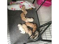 Labrador puppies fully registered