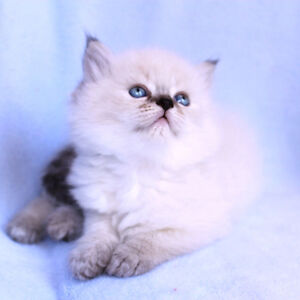 Doll face Persian kittens for adoption