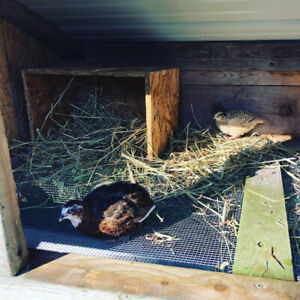 Looking for Male Quail for breeding