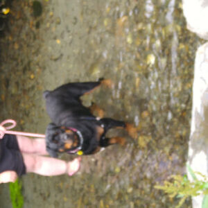 Female Rotti ( Reduced Price from 900.00 )