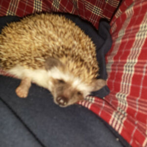 hedgehog for sale