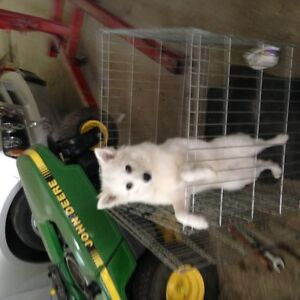 American Eskimo miniature 9 lbs 6 months old,all shots done