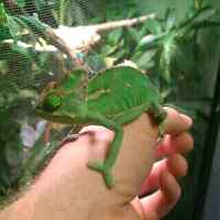 Juvenile male veiled chameleon