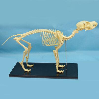 Education Model Canine Skeleton Standard Size Dog Display Animal Veterinary