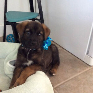 12 week old Sydney is Available Through Pet Save 7056923319