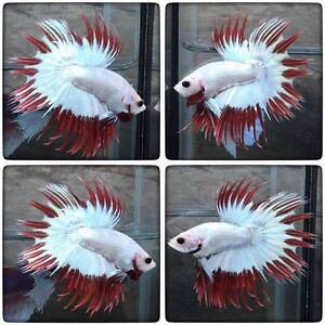 betta fish and accessories for sale CHEAP Tea Gardens Great Lakes Area Preview