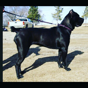 DMCs Black Guardian Cane Corsos Registered Pups