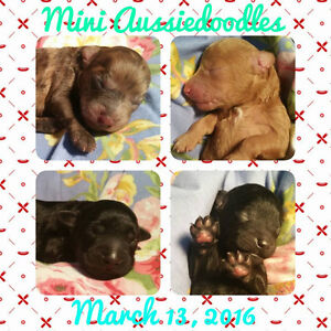Miniature Aussie Doodle Puppies Litter Expected end of JUNE