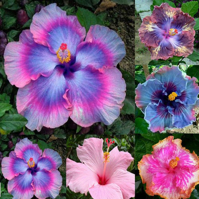 Riesenhibiskus Samen Hibiskus Blumen Blüten Staude Saatgut Garten Pflanzen 47*