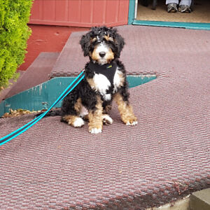 TRICOLORED BERNEDOODLES !!!!
