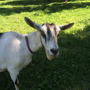 Wanted: dairy goat doe bred for spring Prince George British Columbia image 1