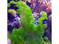 Ulva Macro Algae for Marine Tank, Seahorse Aquarium & Reef Tank. Beautiful as Coral Frags