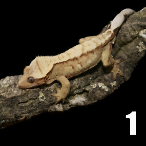 Crested Geckos Available! Springtails too!