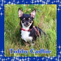 Magnifique petit chiot Chihuahua TOY prêt à nous quitter!!