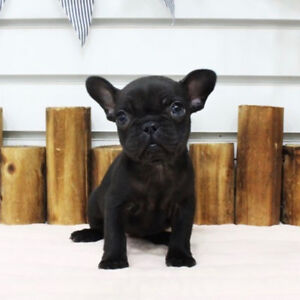 French Bulldog for sale to a good home