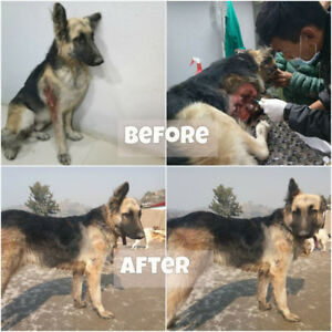 Nepali Street Dog looking for Home in Canada