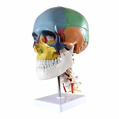 Didactic Human Skull Model With 7 Cervical Vertebrae Nerve And Artery On Stand