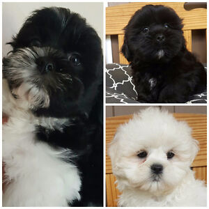 Adorable Teddy Bear Shichons ALL MALES