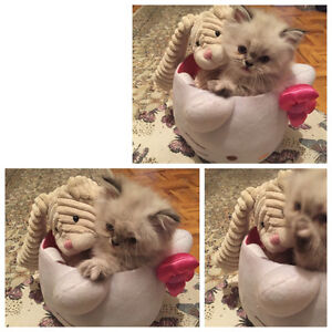 Doll Face Himalayan/Persian Kitten Almost Ready for Adoption