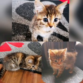 Kittens in Clackmannanshire | Cats & Kittens for Sale - Gumtree