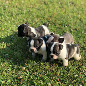 frenchie pups ready soon
