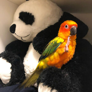 baby sun conure parrot friendly handfed with free medium cage