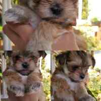 Teacup puppy for sale morkie
