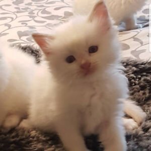 Gorgeous Cinnamon and cream TICA REGISTERED RAGDOLLS