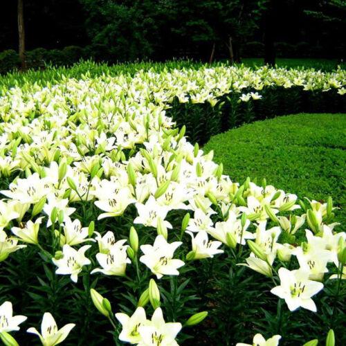 50pcs Orientalische Lilie Stargazer Duftpflanzengarten Blumenzwiebeln Samen·