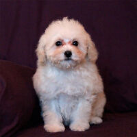 Toy Poodle Puppy - Female