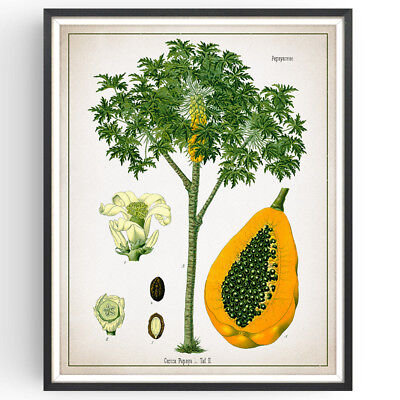 Tropical Fruit Picture (Papaya Botanical Print Tropical Fruit Decor Vintage Wall Art Picture Poster Gift )