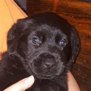 Rottweiler Mix Adopt Dogs Puppies Locally In Ontario Kijiji