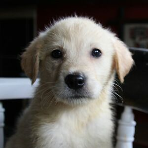 SOLD OUT Golden Retriever / Border Collie Puppies