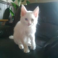 White Long Hair Fluffy Kitten For Sale