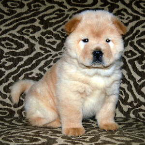 CHOW CHOW PUPPIES AKC REGISTERED
