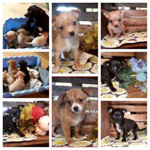 Chihuahua 3 femelles et 3 mâles
