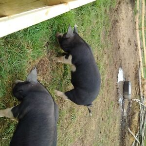 Berkshire young boar ( can be registered)