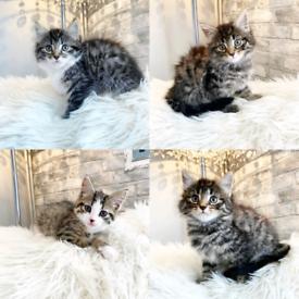 beautiful Bengal cross kittens 8 weeks old