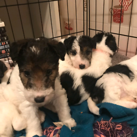 Wired fox terriers pups