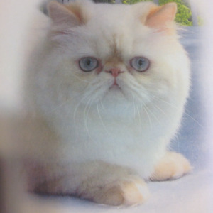 Registered Female Flame Point Himalayan/Persian
