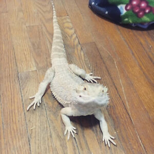 Bearded Dragon, tank, lights and accessories