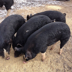 20 - 25 Young Berkshire Hogs and Gilts