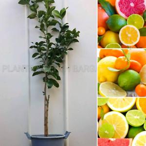 Semi Mature Grafted Lemon,Lime & More Citrus Fruit Trees Plants