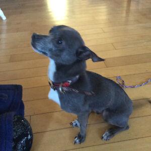 Chihuahua  mâle