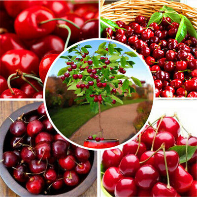 30 Cherry Tree Seeds Delicious Prunus Avium Sweet Edible Fruit Firmness   Flavor
