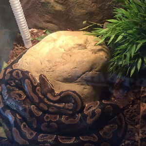 Ball Python Snake for Sale and All Accessories