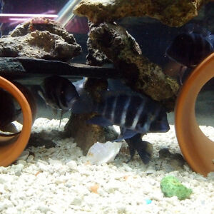Large 4. -5.5  INCH  Frontosa  Cichlid for sale